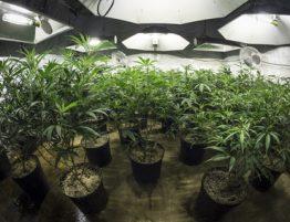 Anbau von Gras Cannabisplantage